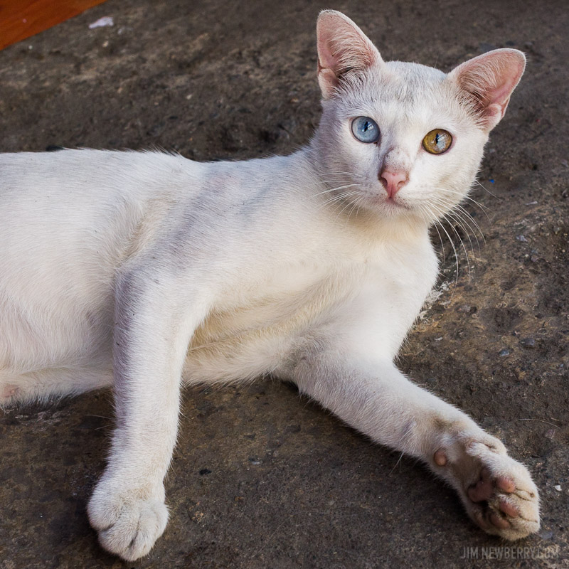 White cat with different colored eyes in Chiang Mai, Thailand. Photo by Jim Newberry.